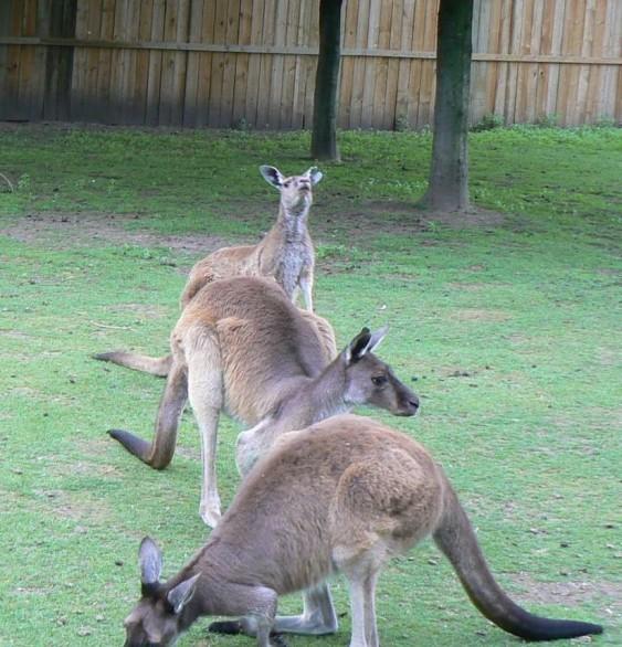 grijze reuzen kangoeroe (© Helma van Dijk)