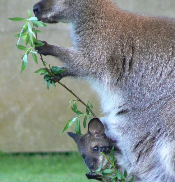 wallaby(© Helma van Dijk)